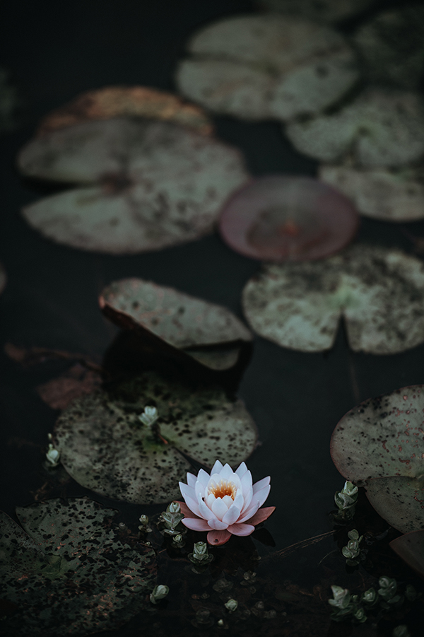 Lotus flower and lily pads image